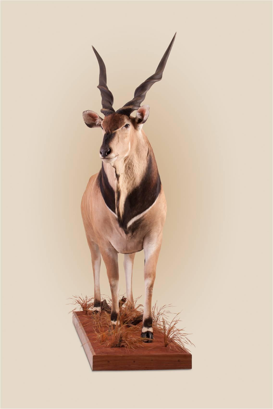 giant eland front